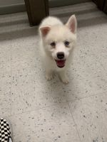 Pomsky Puppies for sale in Jacksonville, NC, USA. price: NA