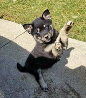 Pomsky Puppies for sale in Portland, OR, USA. price: NA