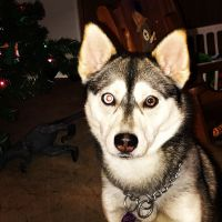 Pomsky Puppies for sale in Warsaw, MO 65355, USA. price: NA