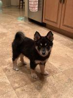 Pomsky Puppies for sale in Brandon, FL, USA. price: NA