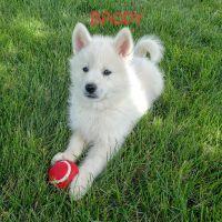 Pomsky Puppies for sale in Shipshewana, IN 46565, USA. price: NA