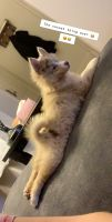 Pomsky Puppies for sale in Oceanside, CA, USA. price: NA