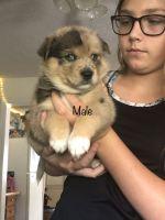 Pomsky Puppies for sale in Martinsburg, WV, USA. price: NA