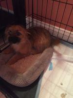 Pomsky Puppies for sale in Brockton, MA, USA. price: NA