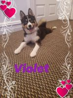 Pomsky Puppies for sale in The Bronx, NY, USA. price: NA