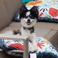 Pomsky Puppies for sale in Seminole, FL, USA. price: NA
