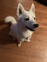 Pomsky Puppies for sale in Aspers, PA, USA. price: NA