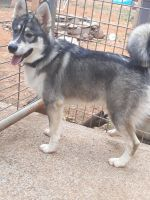 Pomsky Puppies for sale in Oakland, OR 97462, USA. price: NA