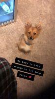 Pomsky Puppies for sale in Wixom, MI, USA. price: NA