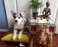 Pomsky Puppies for sale in Wesley Chapel, FL, USA. price: NA