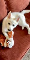 Pomsky Puppies for sale in Richland, WA, USA. price: NA
