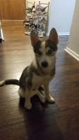 Pomsky Puppies for sale in Schaumburg, IL, USA. price: NA