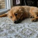 Pomsky Puppies for sale in Novi, MI, USA. price: NA