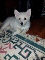 Pomsky Puppies for sale in Ottawa, KS 66067, USA. price: NA