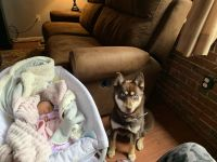 Pomsky Puppies for sale in Londonderry, NH, USA. price: NA