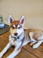 Pomsky Puppies for sale in Menifee, CA 92584, USA. price: NA