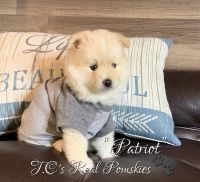 Pomsky Puppies for sale in Queen Creek, AZ, USA. price: NA