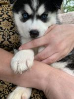 Pomsky Puppies for sale in Hempstead, NY 11550, USA. price: NA