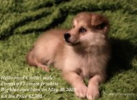 Pomsky Puppies for sale in Temple, TX, USA. price: NA