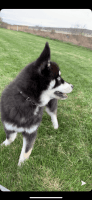 Pomsky Puppies for sale in Elyria, OH 44035, USA. price: NA