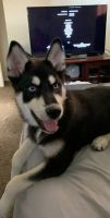 Pomsky Puppies for sale in 19008 E Swope Trail, Independence, MO 64056, USA. price: NA
