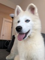 Pomsky Puppies for sale in Everett, MA 02149, USA. price: NA