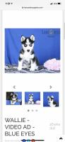 Pomsky Puppies for sale in Killbuck, OH 44637, USA. price: NA