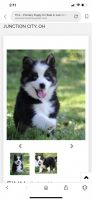 Pomsky Puppies for sale in Montgomery Village, MD, USA. price: NA