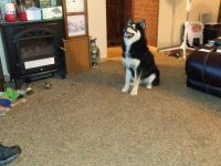 Pomsky Puppies for sale in Trenton, OH, USA. price: NA