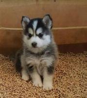 Pomsky Puppies for sale in Austin, TX, USA. price: NA