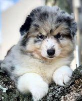 Pomsky Puppies for sale in Biscayne Blvd, Miami, FL, USA. price: NA