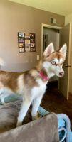 Pomsky Puppies for sale in South Coast Metro, Santa Ana, CA, USA. price: NA