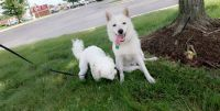 Pomsky Puppies for sale in Dearborn Heights, MI, USA. price: NA