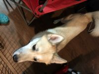 Pomsky Puppies for sale in Fort Worth, TX, USA. price: NA