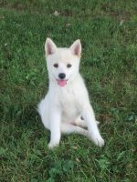 Pomsky Puppies for sale in Alexandria, PA 16611, USA. price: NA