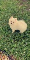 Pomsky Puppies for sale in Miramar, FL, USA. price: NA
