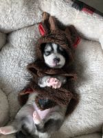 Pomsky Puppies for sale in Middleburg, FL 32068, USA. price: NA