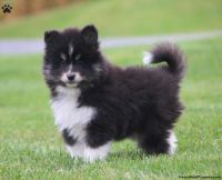 Pomsky Puppies for sale in Pittsburgh, PA, USA. price: NA