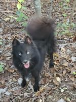 Pomsky Puppies for sale in Dunlap, TN 37327, USA. price: NA