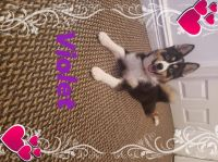 Pomsky Puppies for sale in The Bronx, NY 10462, USA. price: NA