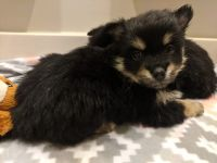 Pomsky Puppies for sale in Ashland, MO, USA. price: NA