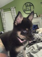 Pomsky Puppies for sale in Wildwood, MO, USA. price: NA