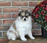 Pomsky Puppies for sale in Howard County, MD, USA. price: NA