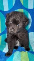 Pomsky Puppies for sale in 644 1st St, Lancaster, PA 17603, USA. price: NA