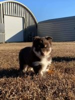 Pomsky Puppies for sale in Greenville, SC, USA. price: NA