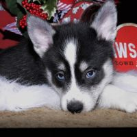 Pomsky Puppies for sale in Cleveland, MN, USA. price: NA