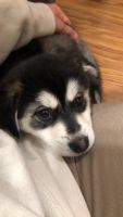 Pomsky Puppies for sale in Sterling Heights, MI, USA. price: NA