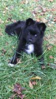 Pomsky Puppies for sale in Lancaster, PA, USA. price: NA