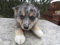 Pomsky Puppies for sale in Kalamazoo, MI, USA. price: NA