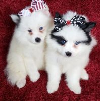 Pomsky Puppies for sale in Peachtree City, GA, USA. price: NA